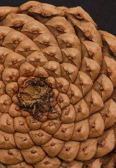 Fibonacci pine cone.  #fibonacci #pinecone #fractal #pattern #pennyroyal #inspiration