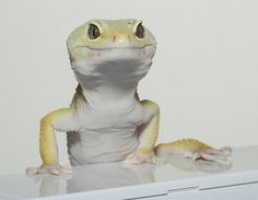 Leopard Gecko Smile