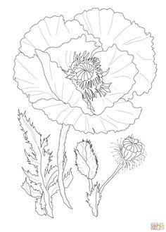 Poppy Flower Coloring Page From Poppies Category Select 27569 Printable Crafts Of Cartoons Nature Animals Bible And Many More