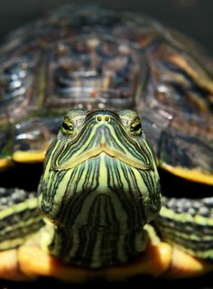 My Timon is a Red-eared Slider