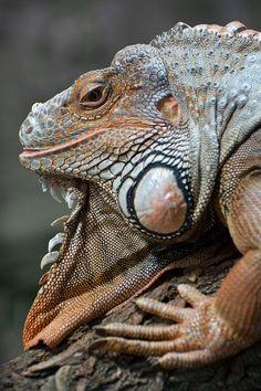 Grüner Leguan http://fc-foto.de/27997421