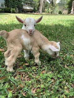 Baby Farm Animals, Baby Cows, Animals And Pets, Baby Sheep, Pretty Animals, Cute Little Animals, Cute Funny Animals, Fluffy Cows, Fluffy Animals