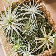 Rustic Artificial Tillandsia Capitata Stem Randomly Picked Set of 5 Types Of Air Plants, Real Plants, Growing Plants, Hanging Air Plants, Outdoor Plants, Air Plant Display, Plant Decor, Planting Succulents, Planting Flowers