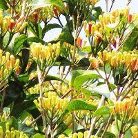 MEDICINAL PLANTS: 41. Cengkeh (Syzygium aromaticum, (Linn.) Merr....
