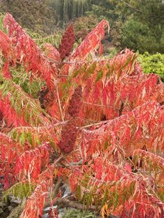 In fall the native sumac adds brilliant reds and oranges to meadows and the edges of woodlands. Here, laceleaf staghorn sumac provides some texture as well, with its finely dissected foliage.