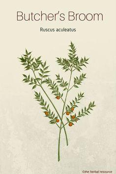 Butcher's Broom - Medicinal Herb