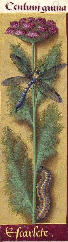 Escarlete - Centum grana (Ombellifère indéterminable. Jussieu propose l'Anethum hortense de C. Bauhin ; Decaisne, le genre Caucalis) -- Grandes Heures d'Anne de Bretagne, BNF, Ms Latin 9474, 1503-1508, f°233v