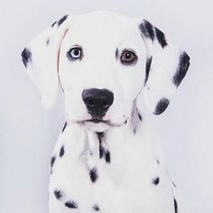 TAKE ACTION You must have this popular #dalmatian T-Shirt Worldwide shipping Reposted from @lassiethedalmatian #dalmata #dalmation #dalmatians #dalmatiansofinstagram #dalmatiner #dalmatiannation by dalmatianlovers #lacyandpaws