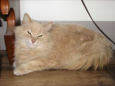 Found Cat - Domestic Long Hair - Greater Sudbury, ON, Canada P3A on December 08, 2013 (21:00 PM)