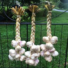 It's that time of year... #garlicharvest #incheliumred #heirloomgarlic