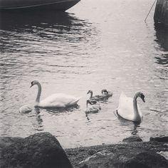 Joutsen perhe kävi moikkaamassa. #swanfamily #turskasaari #blackandwhite #oceanbreeze #grafter #weekendtrip with #friends