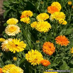 Orange and Yellow Calendula Seeds, Calendula officinalis, Calendula or Pot Marigold