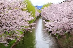 宇治川派流 京都伏見の水辺の桜と古風な街並み