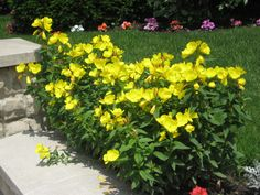 """Lemon Drop® Evening Primrose is easy to grow, and very heat tolerant. Will reach 8-12"""" in height and it blooms all summer in hot, sunny spaces. Zones 5-11. http://emfl.us/qkJd"""