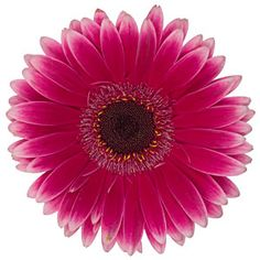 Dark pink and white have teamed up together to bring you Wholesale Dark Pink with White Trim Gerbera Daisies. This fun-looking flower has a bloom that measures inches across. Each stem is about 23 Gerbera Daisy Wedding, Wholesale Flowers Online, Victoria Secret Wallpaper, Daisy Love, Popular Flowers, Fresh Flower Delivery, Gerber Daisies, Wedding Flower Arrangements, Floral Arrangements