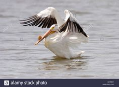 american-white-pelican-pelecanus-erythrorhynchos-appleton-chippawa-AD7MNY.jpg…
