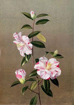 Paul Jones Flora Magnifica and Flora Superba botanical prints! 1970s - from Panteek.com