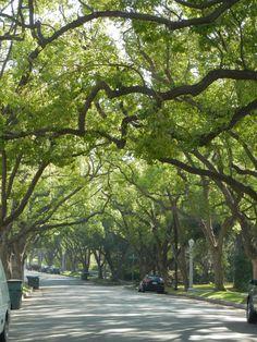 silky oak tree - Buscar con Google