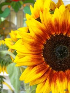 Sunflower...possible painting inspiration