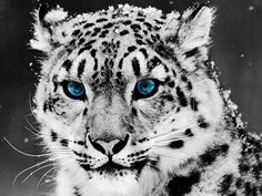 Snow Leopard -- I did my Scratchboard of this picture and it turned out awesome!!! ☺