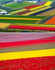 Tulip Fields in Lisse (The Netherlands) I want to own my own flower garden, just like this one!