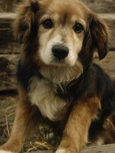 Golden retriever beagle mix. Cuteness.