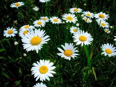 Picture of Daisies by Mackenzie Cremeans