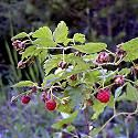 Images, descriptions and identification of plants growing in the wilds of Montana. Edible, poisonous and plants for medicinal use. Foot Fungus Treatment, Natural Lifestyle, Garden Items, Holistic Nutrition, Natural Health Remedies, How To Treat Acne, Medicinal Plants, Natural Treatments, Herbal Medicine