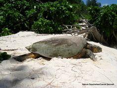 Hawksbill turtle #cousinisland #Seychelles