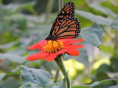 Monarchs are migrating to the Sierra Madre Mountains in Mexico.  Makes sense that this one stopped on my Mexican Sunflower for an energy boost.