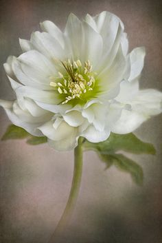 ☆ Christmas Rose :¦: By Jacky Parker on Flickr ☆