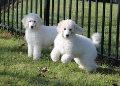 South Mountain Standard Poodles born July 2015