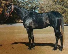 Silver Buck (USA) 1978 (Buckpasser-Silver True), sire of Silver Charm, winner of the 1997 Kentucky Derby.
