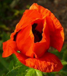 an old variety from hubb's Grandmother. Poppy, Gardens, Rose, Flowers, Plants, Poppies, Pink, Outdoor Gardens, Plant