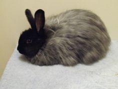 Black French Angora Rabbit French Angora Rabbit, Angora Bunny, Baby Harp Seal, Beautiful Rabbit, Rabbit Run, Bunny Rabbits, Cool Pets, Chinchilla, Guinea Pigs