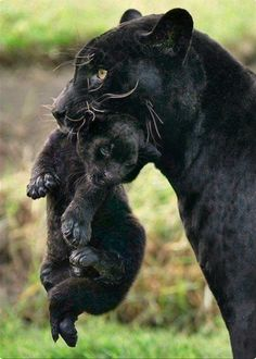 and baby animals PHOTOS: ZooBorns' 25 Cutest Baby Animals Black Jaguar BabyZooBorns fans love shots of mothers and cubs. Here a newborn black jaguar is carried by her mother, named Venus, at the Park of the Legends zoo in Lima. Wild Animals Pictures, Animal Pictures, Animals Images, Baby Pictures, Pretty Pictures, Funny Pictures, Beautiful Cats, Animals Beautiful, Beautiful Life