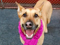 TO BE DESTROYED - 04/27/14 Manhattan Center -P  My name is JUBILEE. My Animal ID # is A0996660. I am a spayed female tan germ shepherd and labrador retr mix. The shelter thinks I am about 6 YEARS old.  I came in the shelter as a STRAY on 04/14/2014 from NY 11369, owner surrender reason stated was OWNER HOSP.