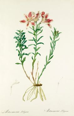 Pierre-Joseph Redouté -- Astroemeria pelegrina -- Pierre-Joseph Redouté -- Artists -- RHS Prints