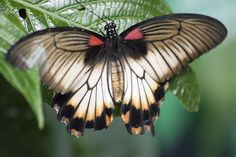 This is the amazing picture of a Great Mormon Butterfly, which was born hatched half male and half female. The left hand side of the butterfly is male, denoted by its black wing, while the yellow wing is female. Butterfly Hatching, Moth Species, Butterfly Species, Black Wings, Butterfly Wallpaper, Picts, My Heart Is Breaking, Beautiful Butterflies, Cool Pictures