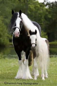 """Young black and white Painted Pony stands under Mom's cascading curly white mane that reaches almost to the grass. Research by DdO:) - http://www.pinterest.com/DianaDeeOsborne/gorgeous-horses-more/ In history the """"Painted Pony"""" is said to have meant the """"war horse"""" of the Native Americans and many of New Mexican artists incorporated these horses into their painting subject compositions. Lovely portrait pose in the green pasture by Painted Pony Photography."""