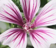 MALVA: I fiori e in particolare le foglie della malva sono ricche di mucillagini, con proprietà emollienti e antinfiammatorie per tutti i tessuti molli del corpo. Questi principi attivi agiscono rivestendo le mucose con uno strato vischioso che le proteggono da agenti irritanti. L'uso della malva è indicato contro la tosse, nelle forme catarrali delle prime vie aeree; per idratare e sfiammare l'intestino, e per regolarne le funzioni.