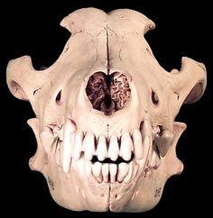 gray wolf skull, front - gray wolf skull, front