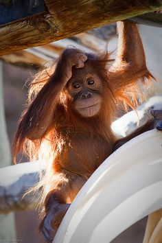 Baby Orangatang by T.E.A.M.Dad, via Flickr