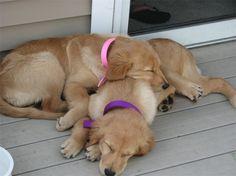 sweet goldens resting