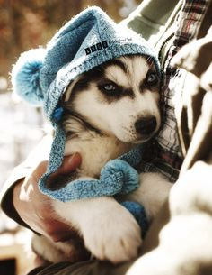 This Husky knows how to keep warm with his promotional hat