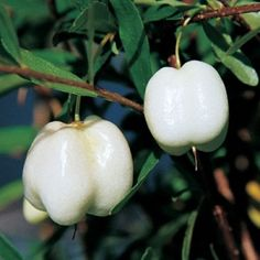 Alba Tasmanian Vine is prized for its profuse, sweet and snow- white berries Rainbow Fruit, Colorful Fruit, Tropical Fruits, Fruit And Veg, Fruits And Vegetables, Fresh Fruit, Weird Fruit, Strange Fruit, Kinds Of Fruits