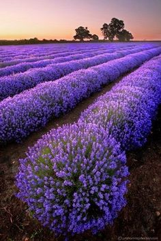 Stunning Lavender field, France - imagine the fragrance! ❤ Purasentials.com ❤ essential oils with love