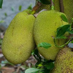 The jackfruit is the largest fruit in the world. It's amazing that these fruits grow on trees considering they can weigh up to 80 pounds each. They are often compared to bananas, but with a tarter flavor. Jackfruits are used for cooking in Asian cuisines and are also eaten raw.   - Delish.com