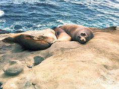 🌊 Found this one on my phone. I photographed these guys lounging out in La Jolla. I swear the one on the right smiled for the pic 🤓 #latergram #lajolla #travel #ocean #sealife #california #socal #sandiego #photography #photographer #iphone #nature #animals #wild #explore #awesome #lajollalocals #sandiegoconnection #sdlocals - posted by Burton ☕️  https://www.instagram.com/socalburt. See more post on La Jolla at http://LaJollaLocals.com