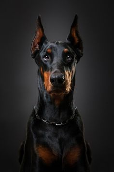 coffeenuts:  Orpheus by Lényfotó - http://ift.tt/1ubw8fe  Dusty Fleas:  The Doberman Pinscher is 'The Thinking Dog': the only breed that is capable of making decisions on its own. These dogs have virtually no body odour, they actually smell sweet, like sugar. Highly sensitive, the ...